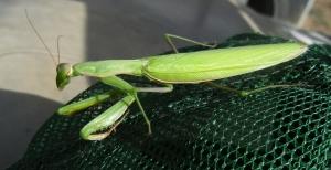 House Creek Mantis