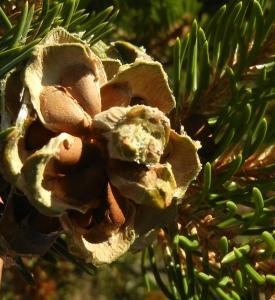 Pinon Nuts