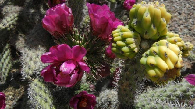 Pancho Villa Cactus