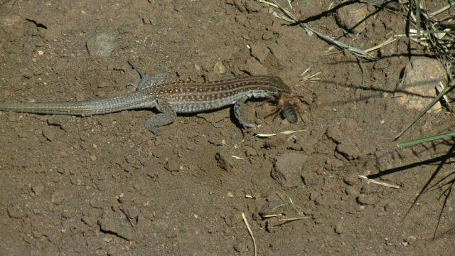 Three Rivers Lizard
