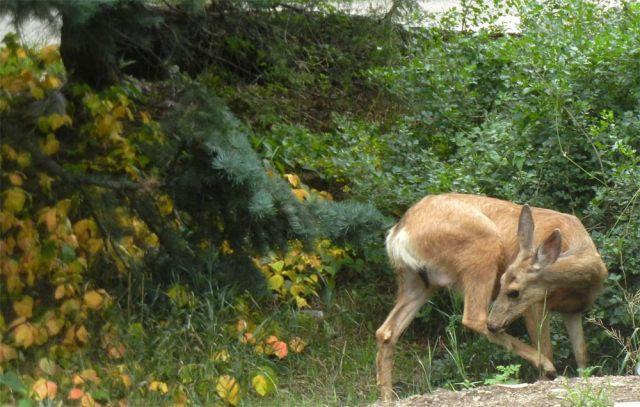 Cimarron Canyon mule deer