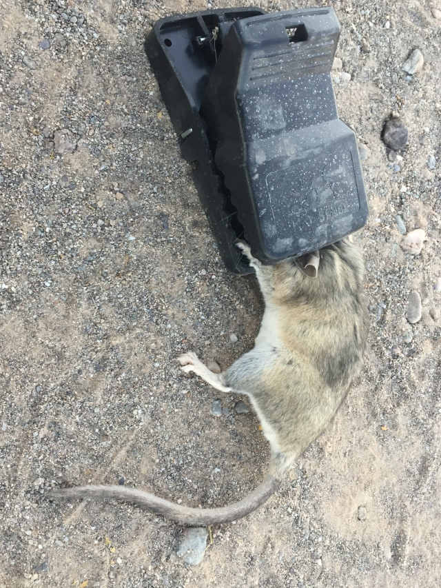 kangaroo rat trapped